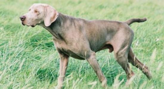 chien-accouplement