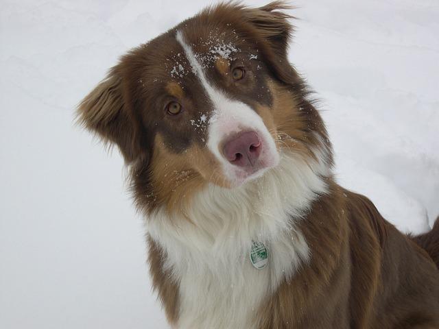 chien_ski
