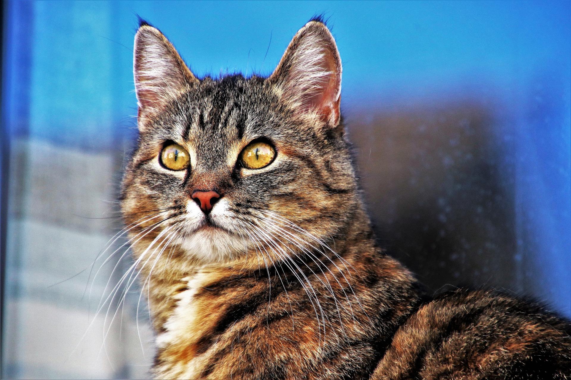 Portrait d'un chat tigré aux yeux jaunes qui pose devant une fenêtre
