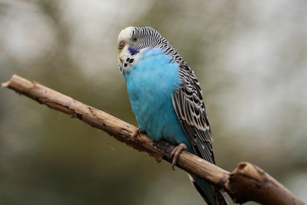 Perruche bleue posée sur une branche d'arbre