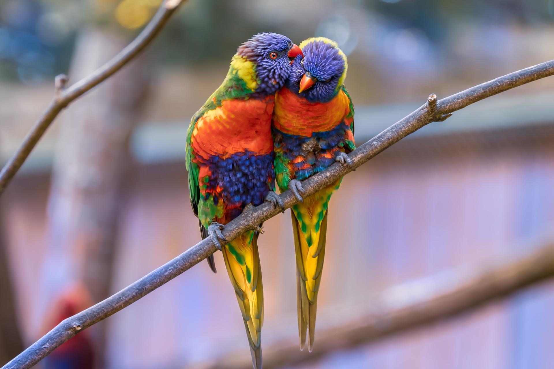 Deux perroquets multicolores collés l'un à l'autre sur une branche d'arbre